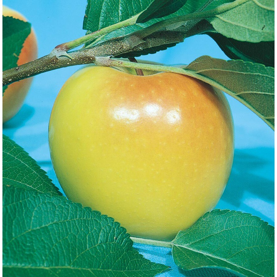3.25-Gallon Anna Semi-Dwarf Apple Tree (L3588)