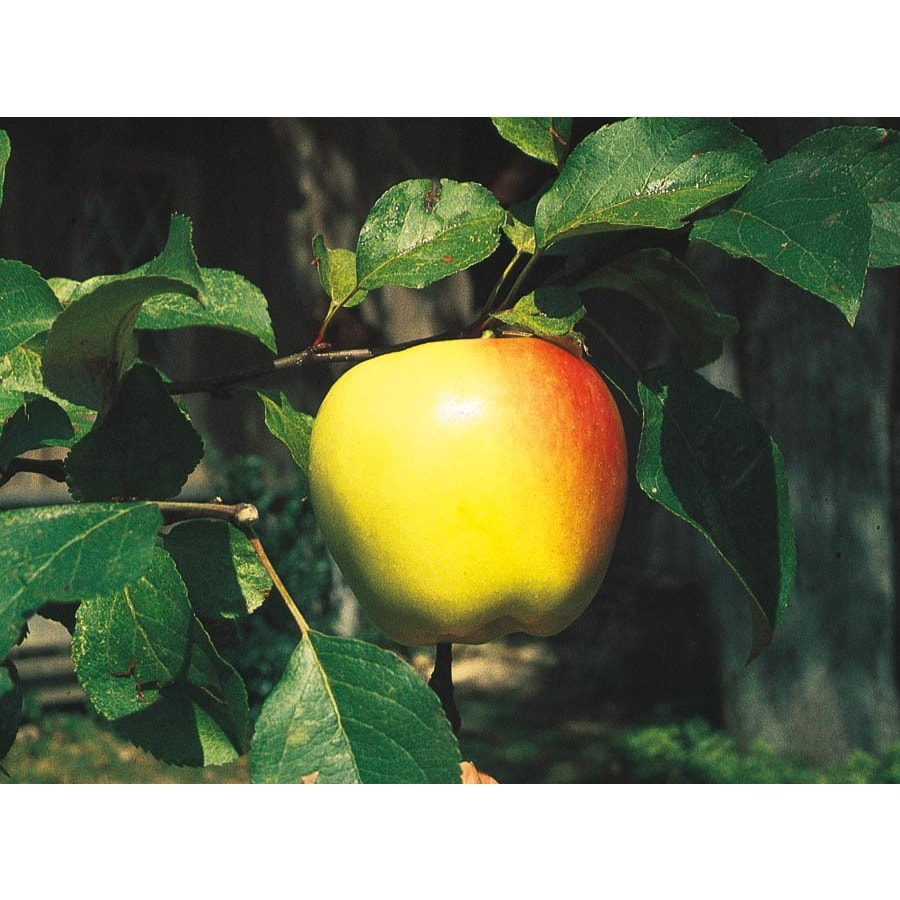 3.25-Gallon Dorsett Golden Semi-Dwarf Apple Tree (L6122)