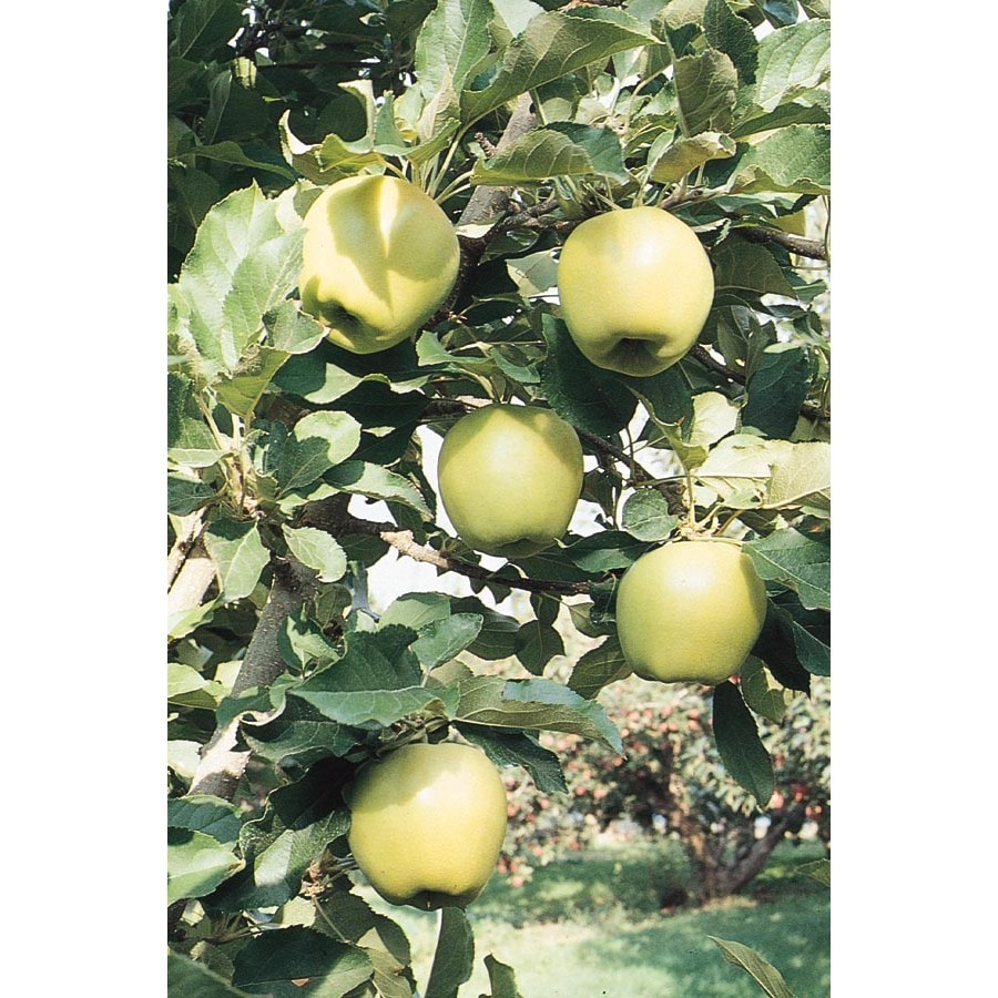 3.25-Gallon Ein Shemer Semi-Dwarf Apple Tree (L6121)
