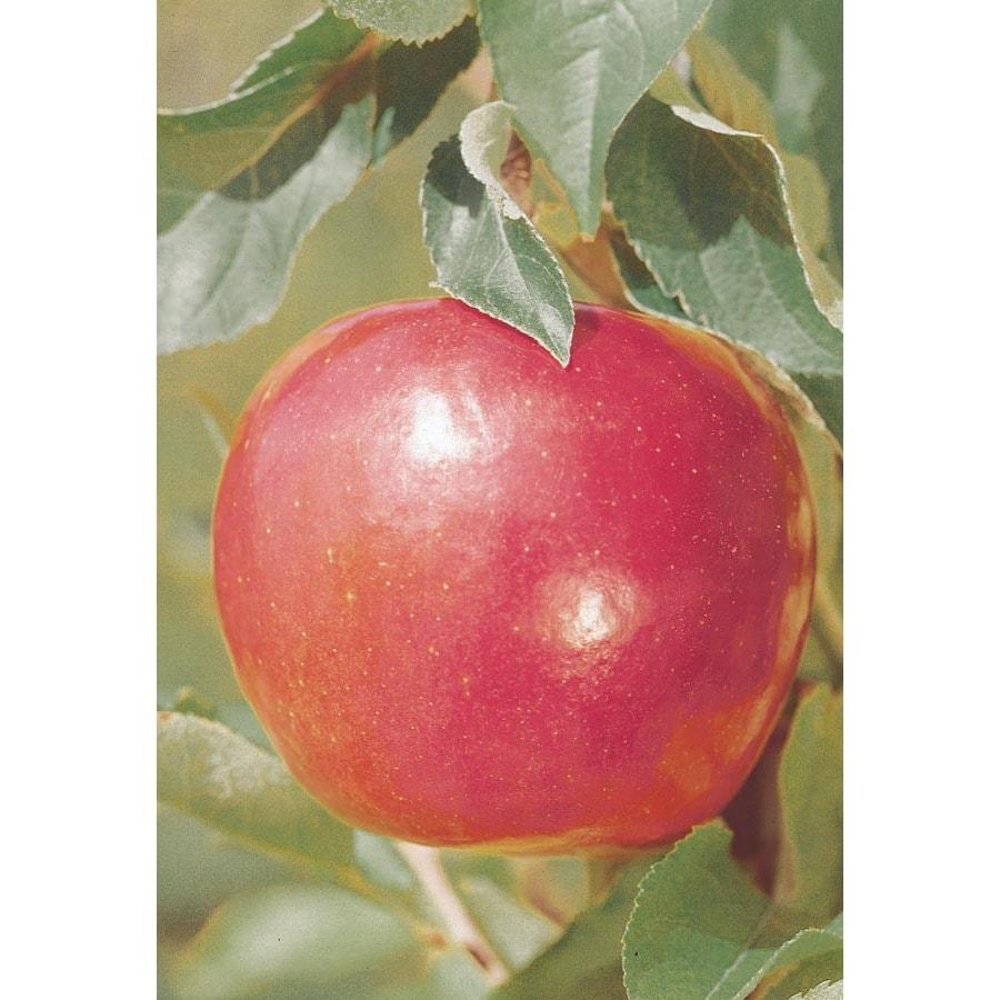 3.25-Gallon Jonathan Semi-Dwarf Apple Tree (L4515)