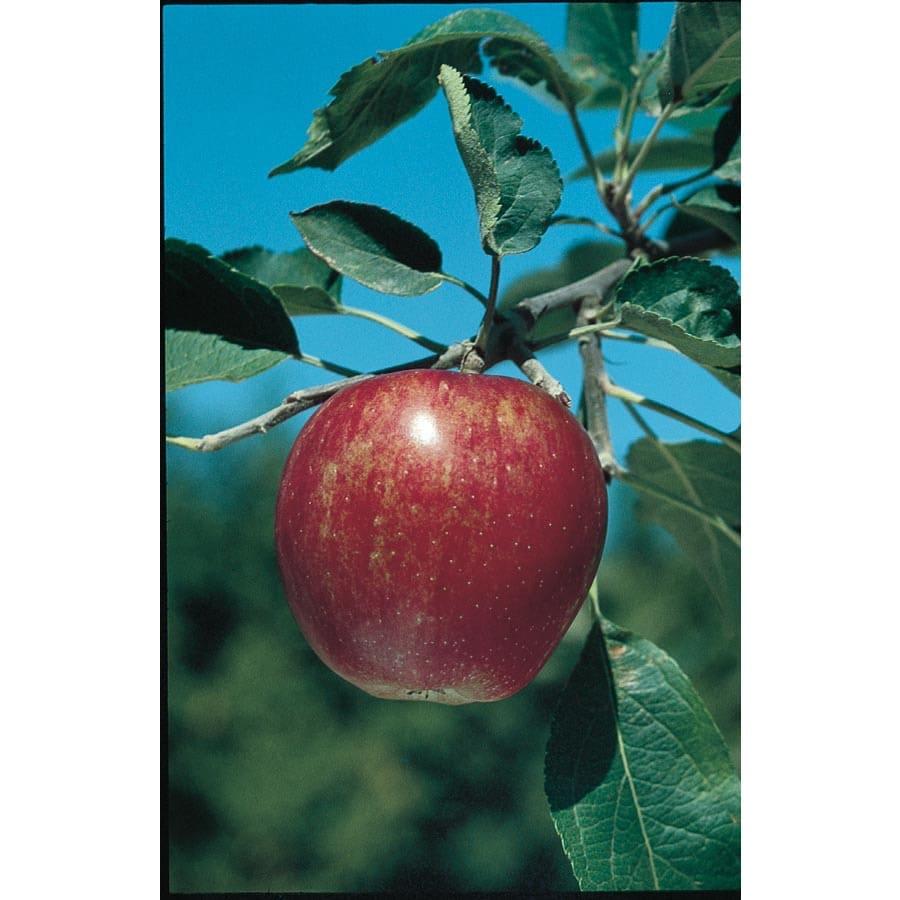 3.25-Gallon Winesap Semi-Dwarf Apple Tree (L4518)
