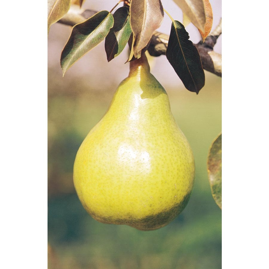 3.25-Gallon Bartlett Semi-Dwarf Pear Tree (L3669)