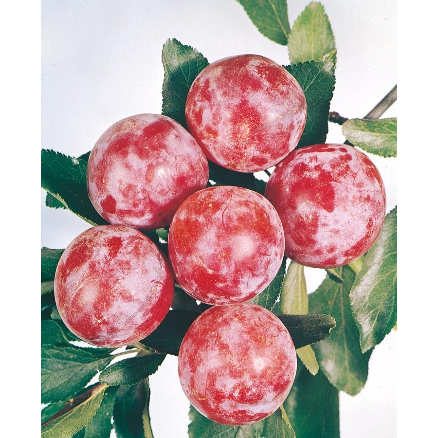 3.25-Gallon Santa Rosa Semi-Dwarf Plum Tree (L3664)