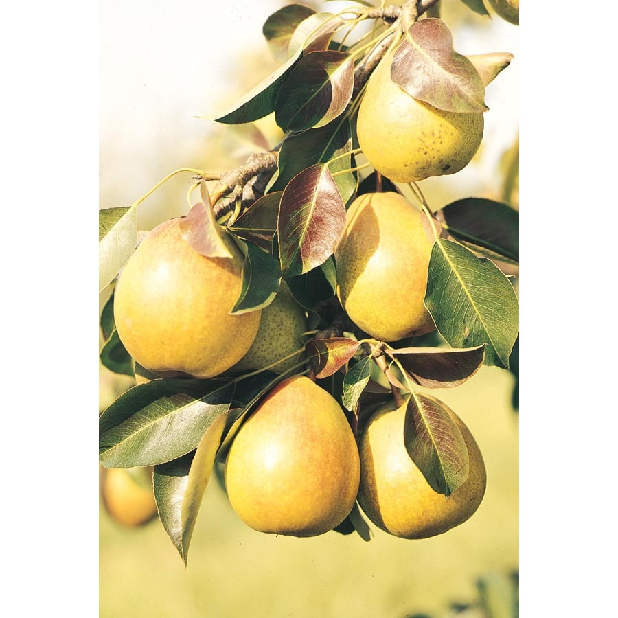 3.25-Gallon Moonglow Semi-Dwarf Pear Tree (L4569)