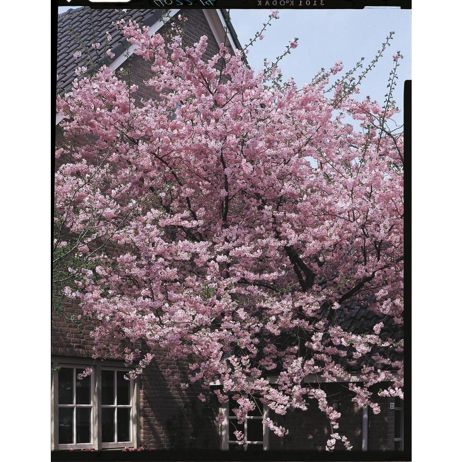 3 25 Gallon Pink Kwanzan Cherry Flowering Tree In Pot With Soil L1023 At Lowes