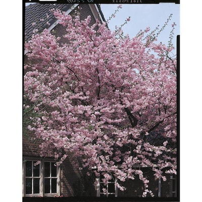 10 25 Gallon Pink Kwanzan Flowering Cherry Flowering Tree In Pot L1023 In The Trees Department At Lowes Com