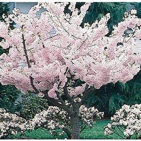Shop trees at lowes yoshino flowering cherry flowering tree l3234 mightylinksfo