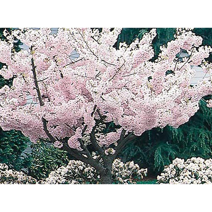 10.25-Gallon Yoshino Flowering Cherry Flowering Tree (L3234)