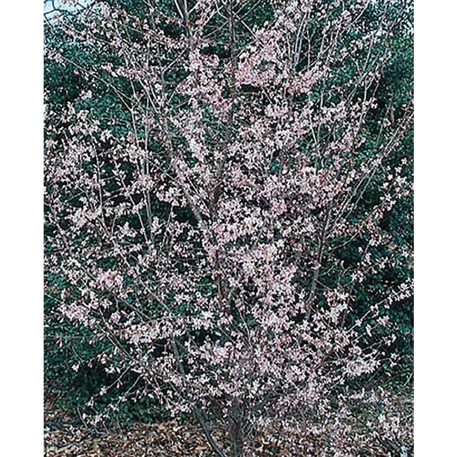 3.25-Gallon Okame Flowering Cherry Flowering Tree (L7100)
