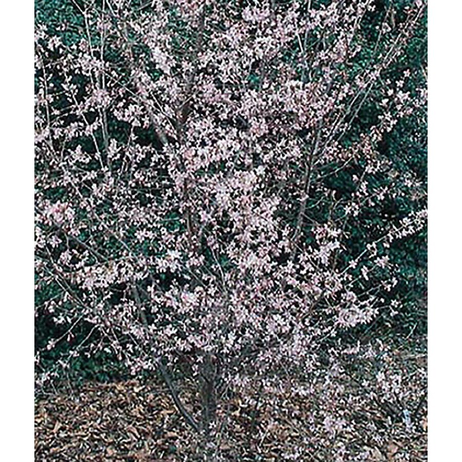 5.5-Gallon Okame Flowering Cherry Flowering Tree (L7100)