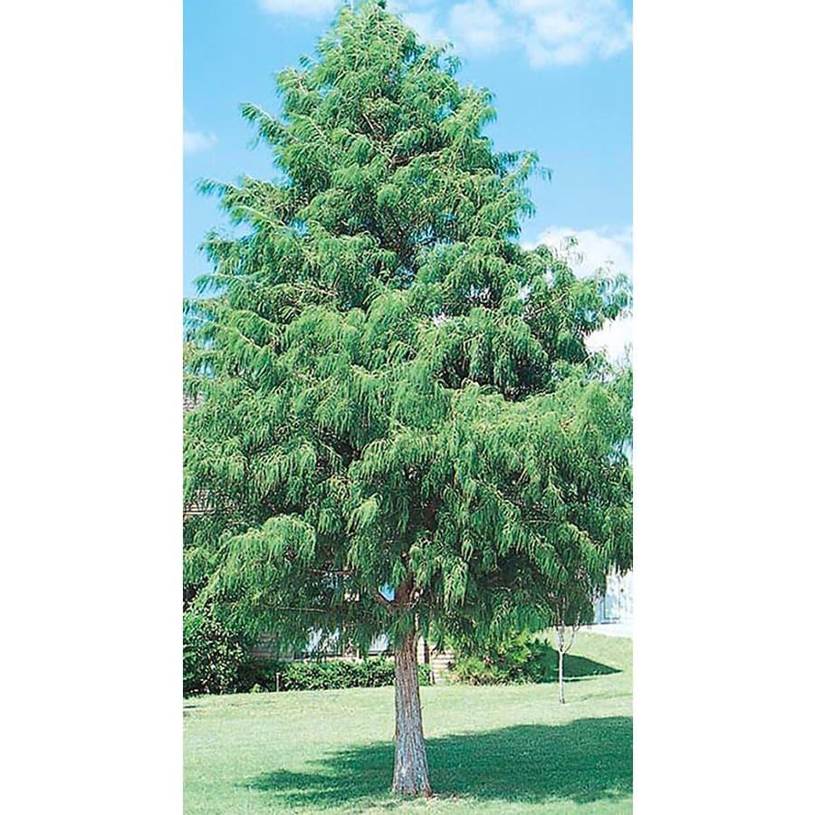 3.25-Gallon Bald Cypress Shade Tree (L3245)