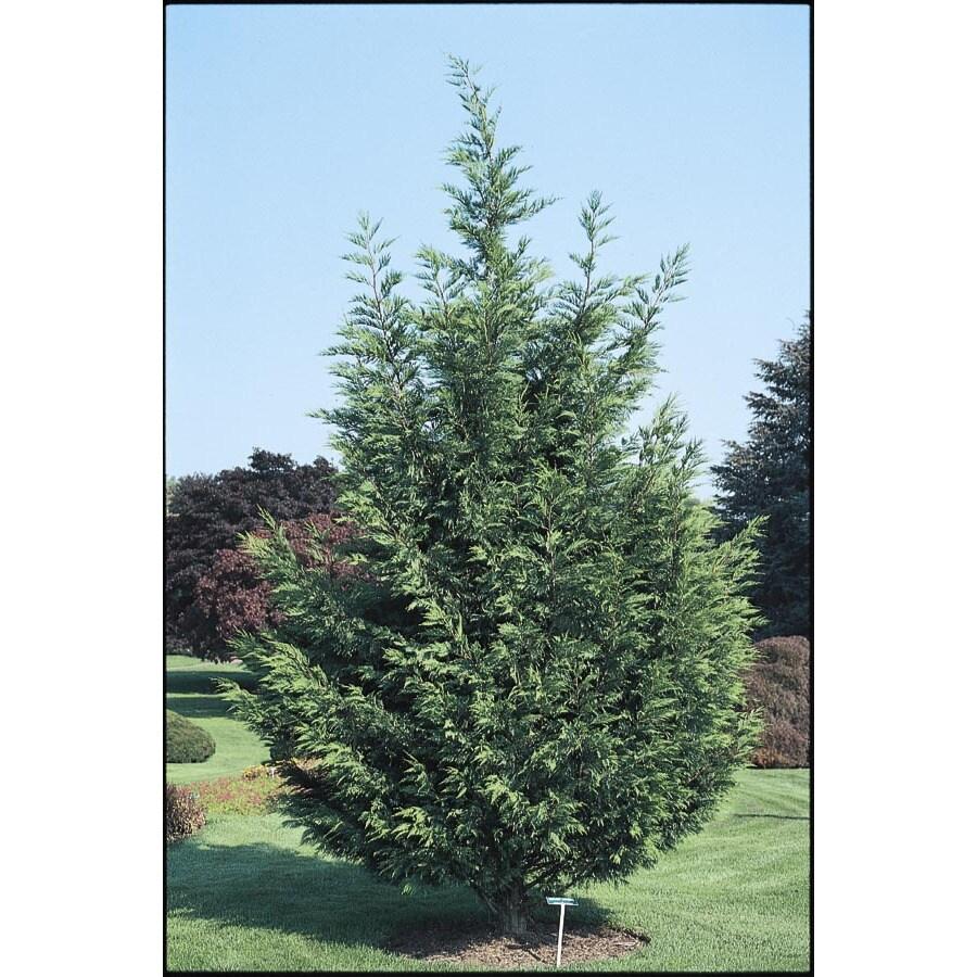 28.5-Gallon Leyland Cypress Screening Tree (L3153)