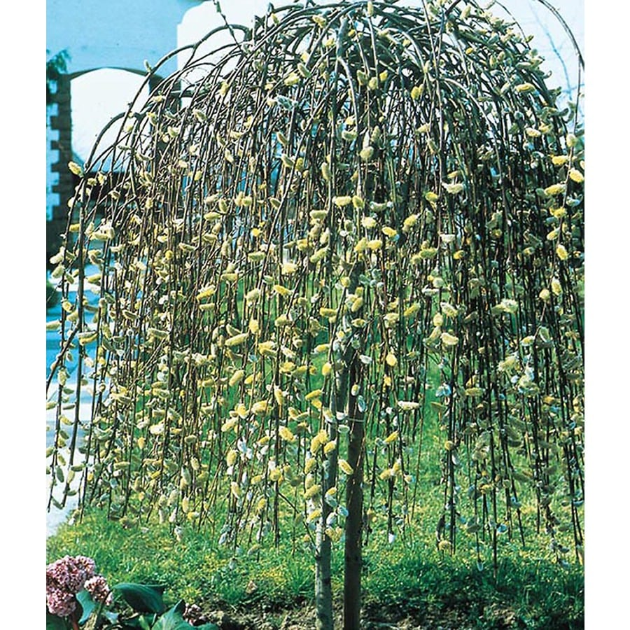 Shop 3.25-Gallon Pink Weeping Pussy Willow Tree Feature Shrub ...