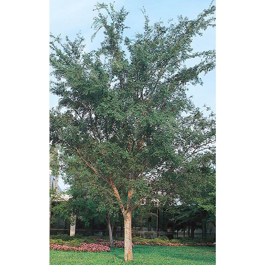 3.25-Gallon Drake Elm Shade Tree (L4612)