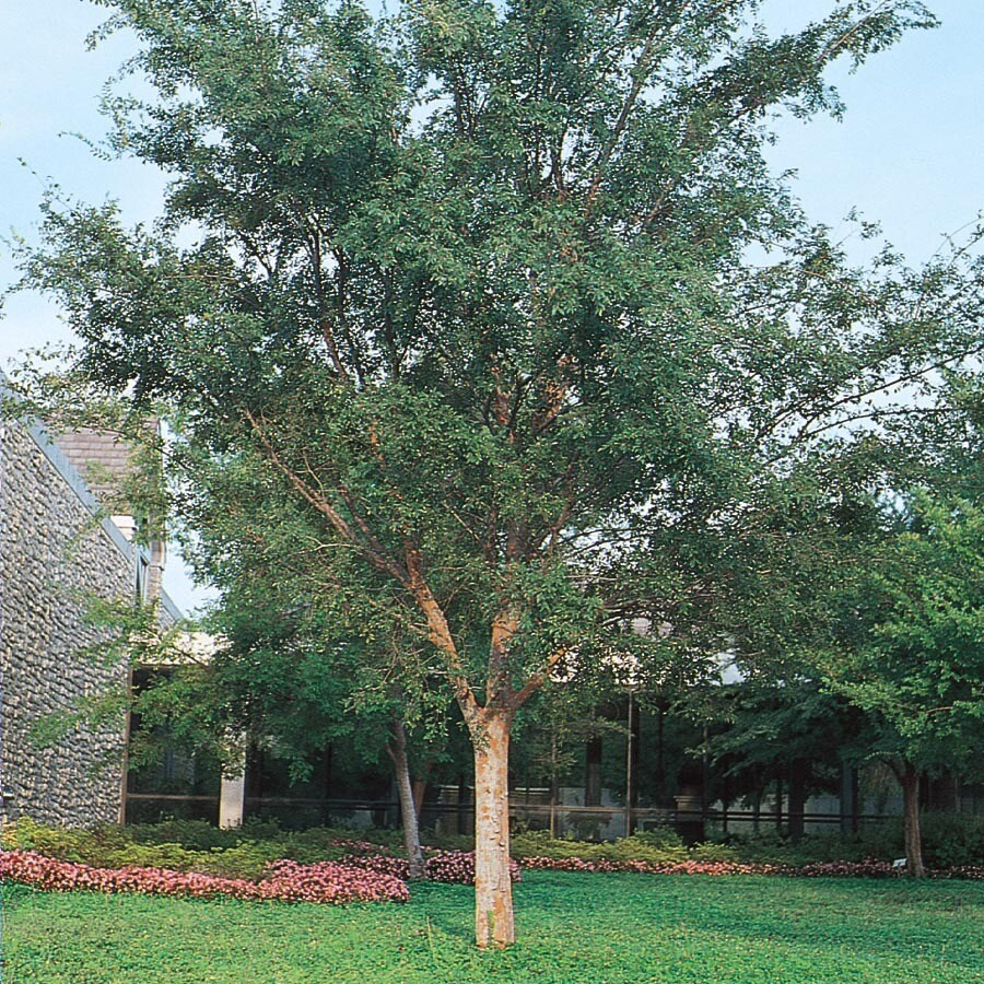 5.5-Gallon Drake Elm Shade Tree (L4612)