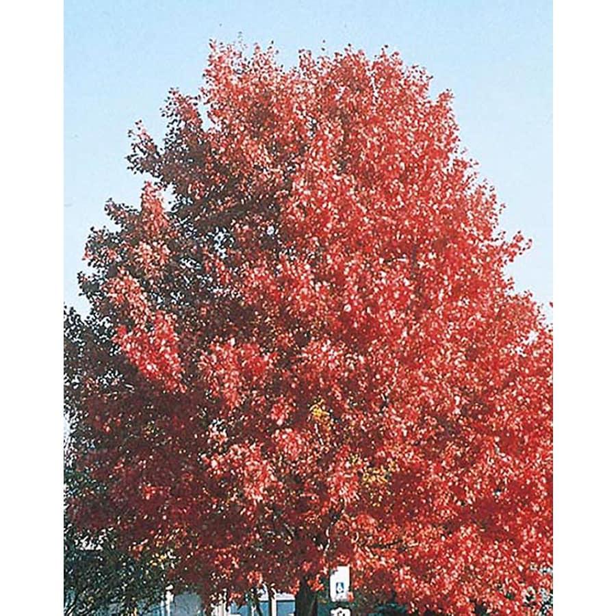5.5-Gallon October Glory Maple Shade Tree (L3171)