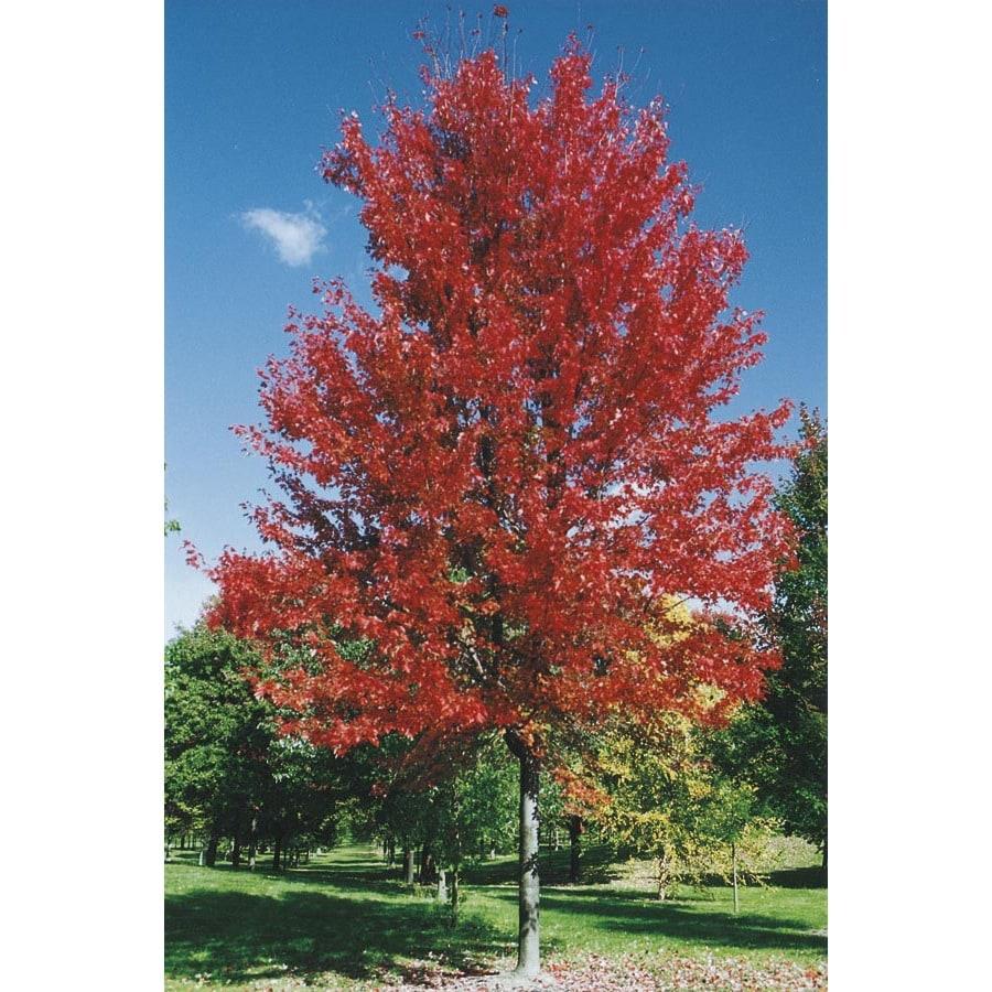 10.25-Gallon Autumn Blaze Maple Shade Tree (L1123)