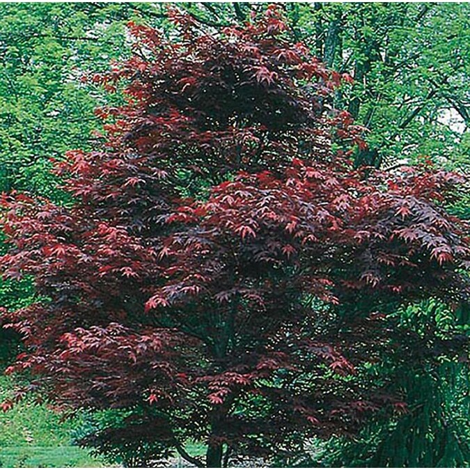 Japanese Maple tree insects - Ask an Expert |Japanese Maple Red Beetle