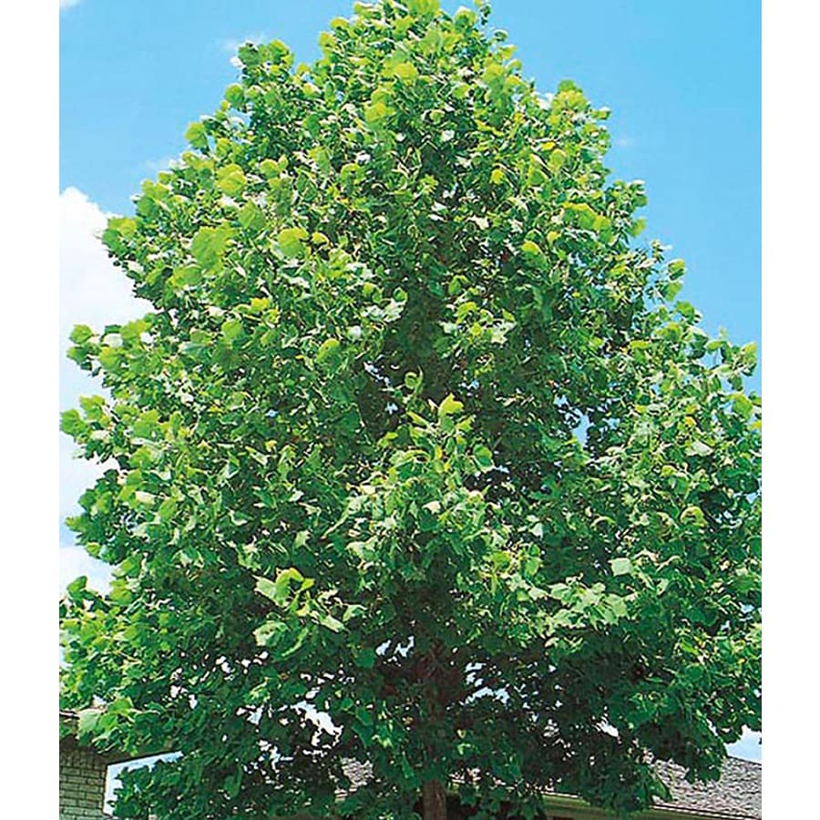 10 25 Gallon Sycamore Tree Shade L1049