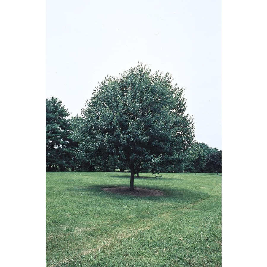 10.25-Gallon Red Sunset Maple Shade Tree (L1129)