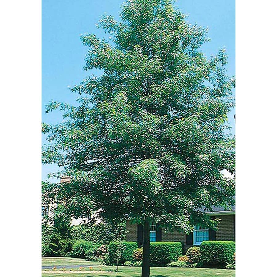 3.25-Gallon Pin Oak Shade Tree (L1097)