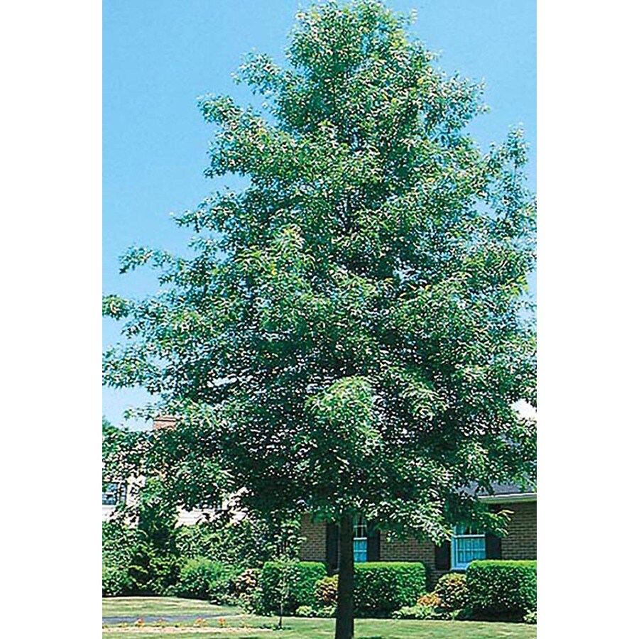 10.25-Gallon Pin Oak Shade Tree (L1097)