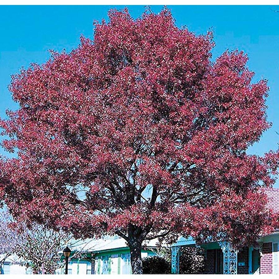 5.5-Gallon Shumard Oak Shade Tree (L1085)