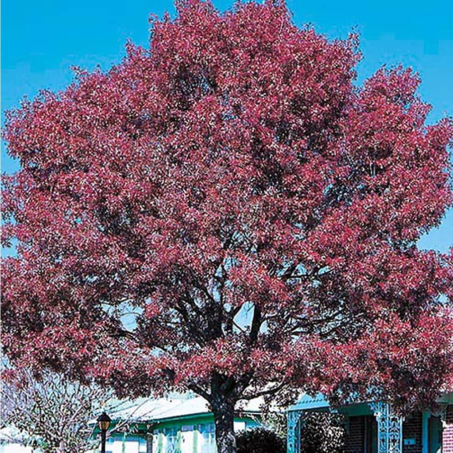 10.25-Gallon Shumard Oak Shade Tree (L1085)