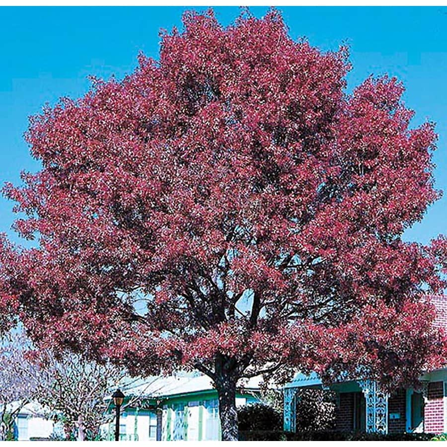 28.5-Gallon Shumard Oak Shade Tree (L1085)