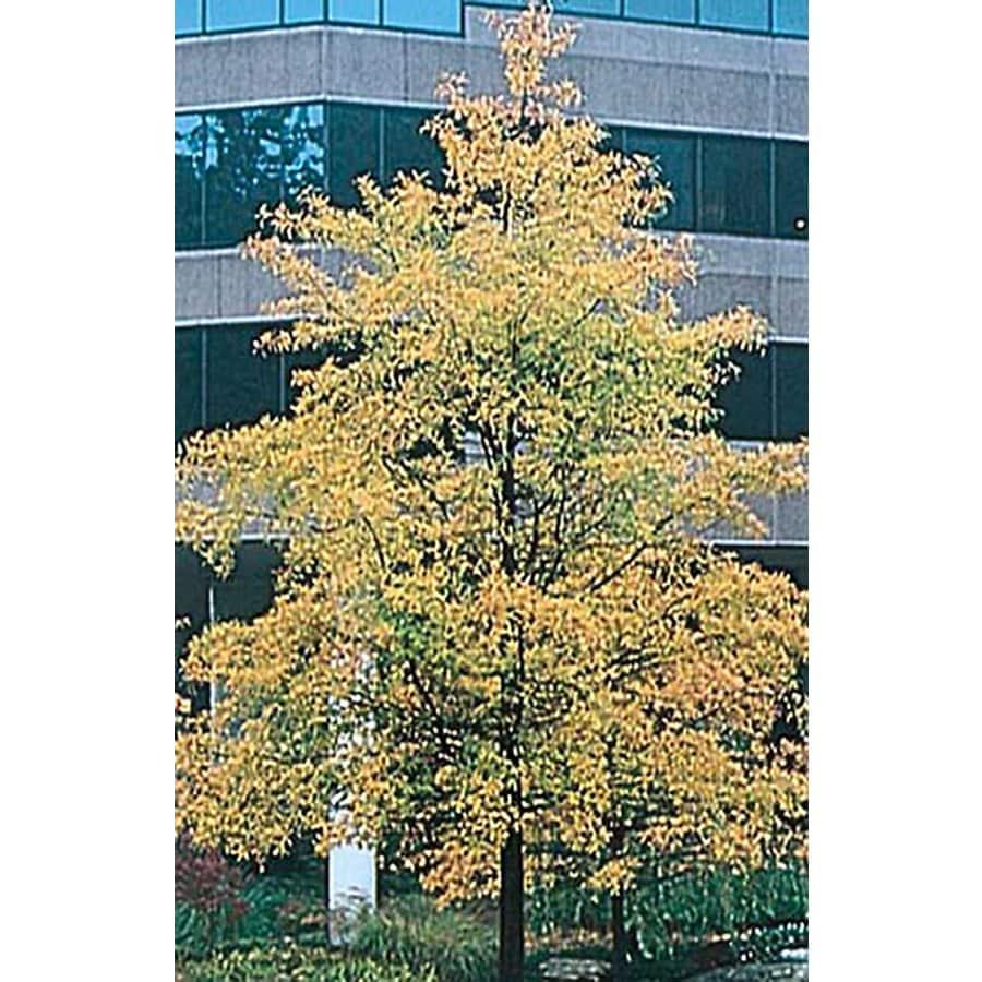 43.5-Gallon Willow Oak Shade Tree (L1407)