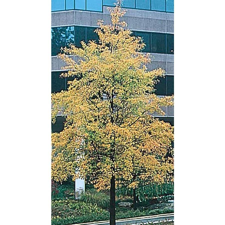 3.25-Gallon Willow Oak Shade Tree (L1407)