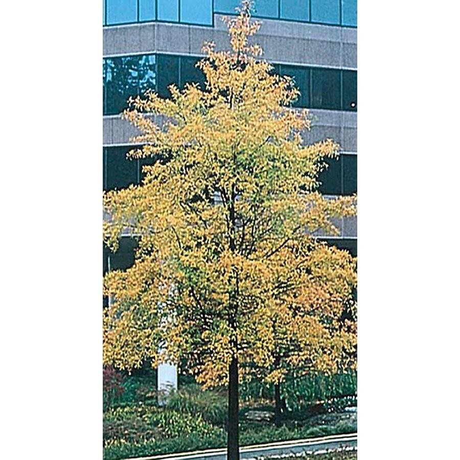 5.5-Gallon Willow Oak Shade Tree (L1407)