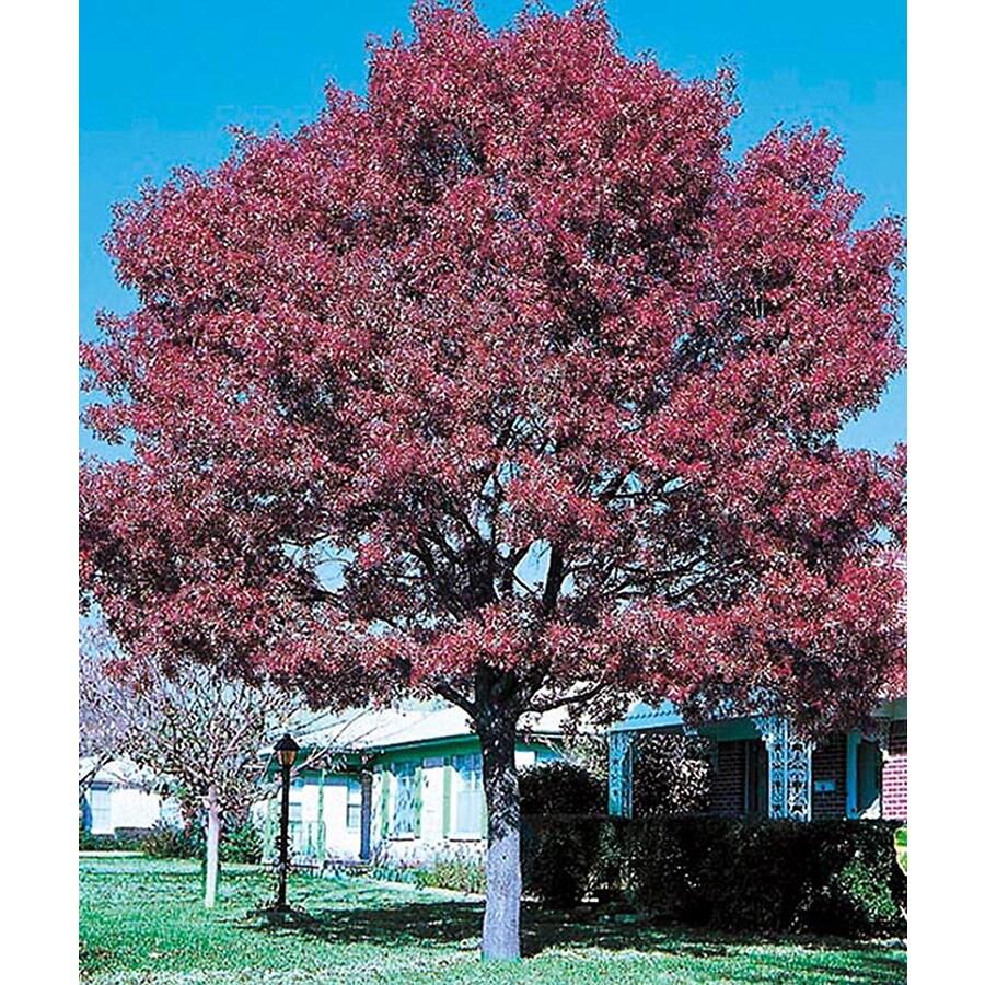5.5-Gallon Nuttall Oak Shade Tree (L6797)
