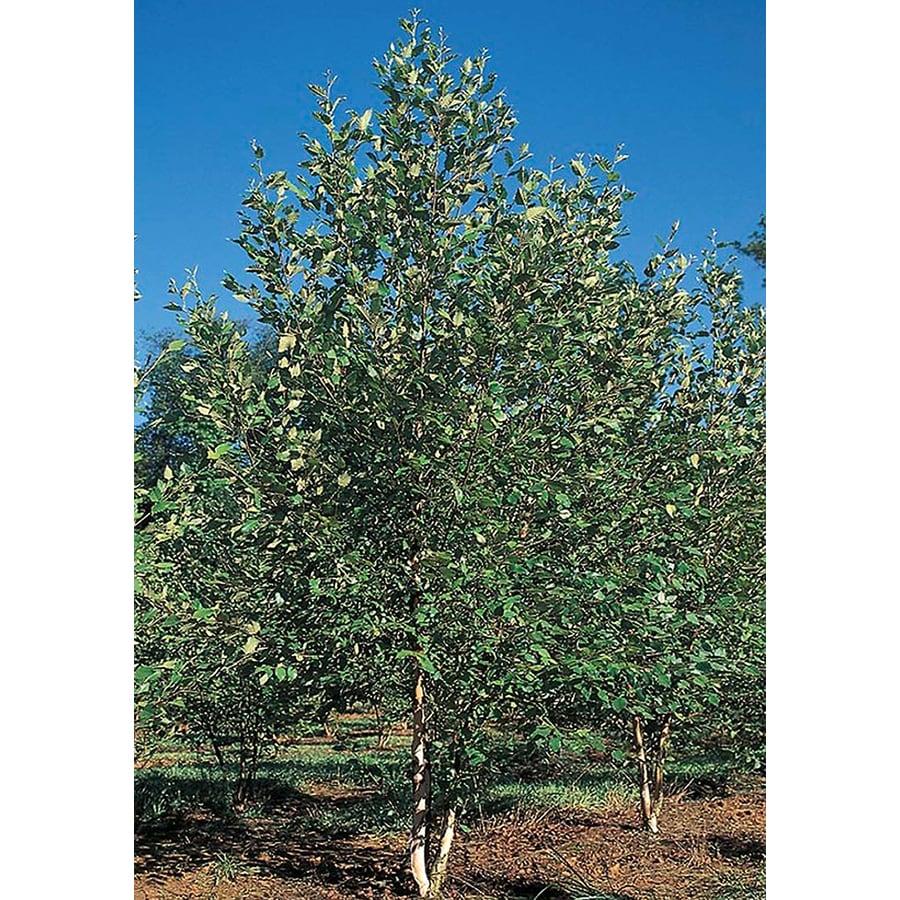 5.5-Gallon Dura-Heat Clump River Birch Feature Tree (L2081)