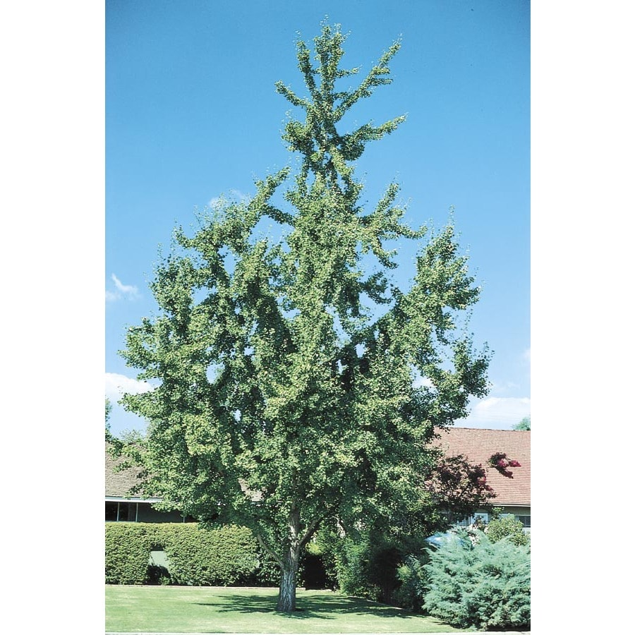 3.25-Gallon Maidenhair Tree Shade Tree (L1045)