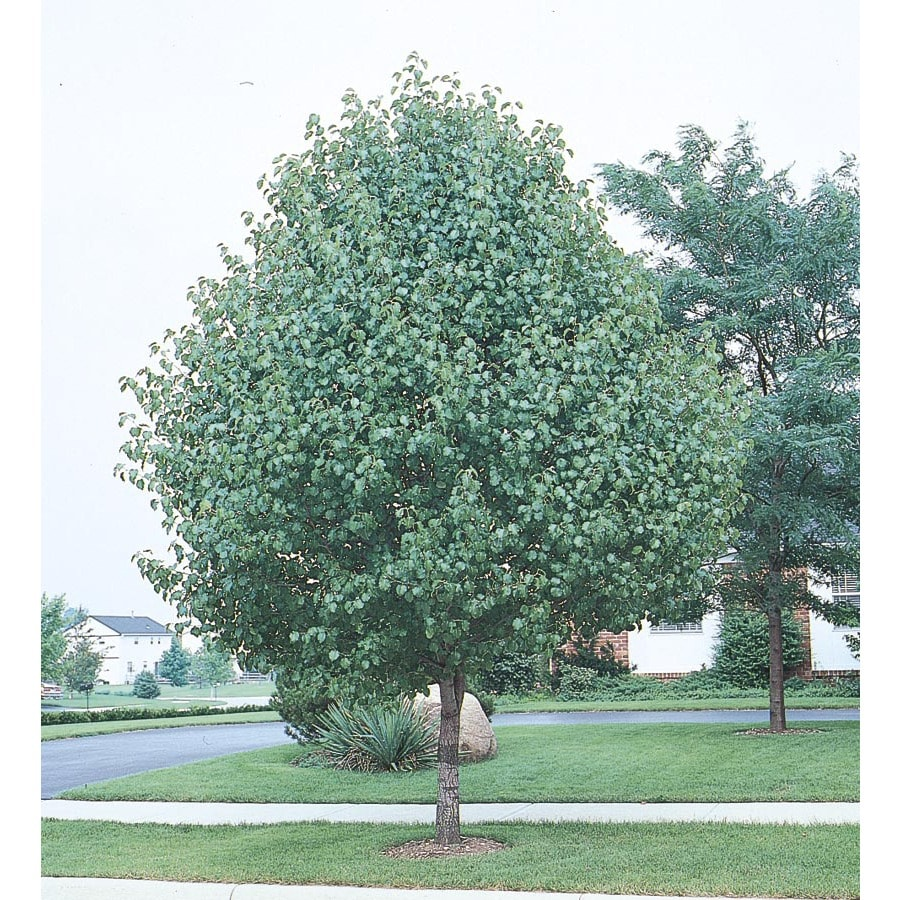 5.5-Gallon Bradford Flowering Pear Flowering Tree (L3235)