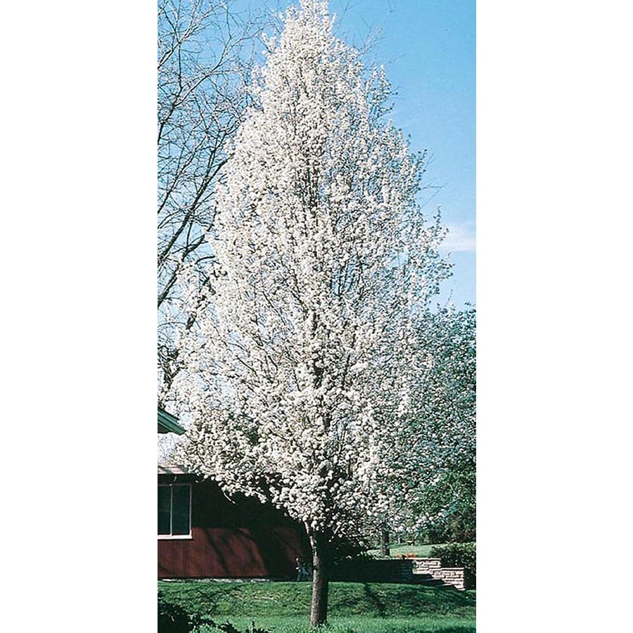 28.5-Gallon Cleveland Select Flowering Pear Flowering Tree (L5397)