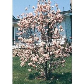 Flowering Tree Trees At Lowescom