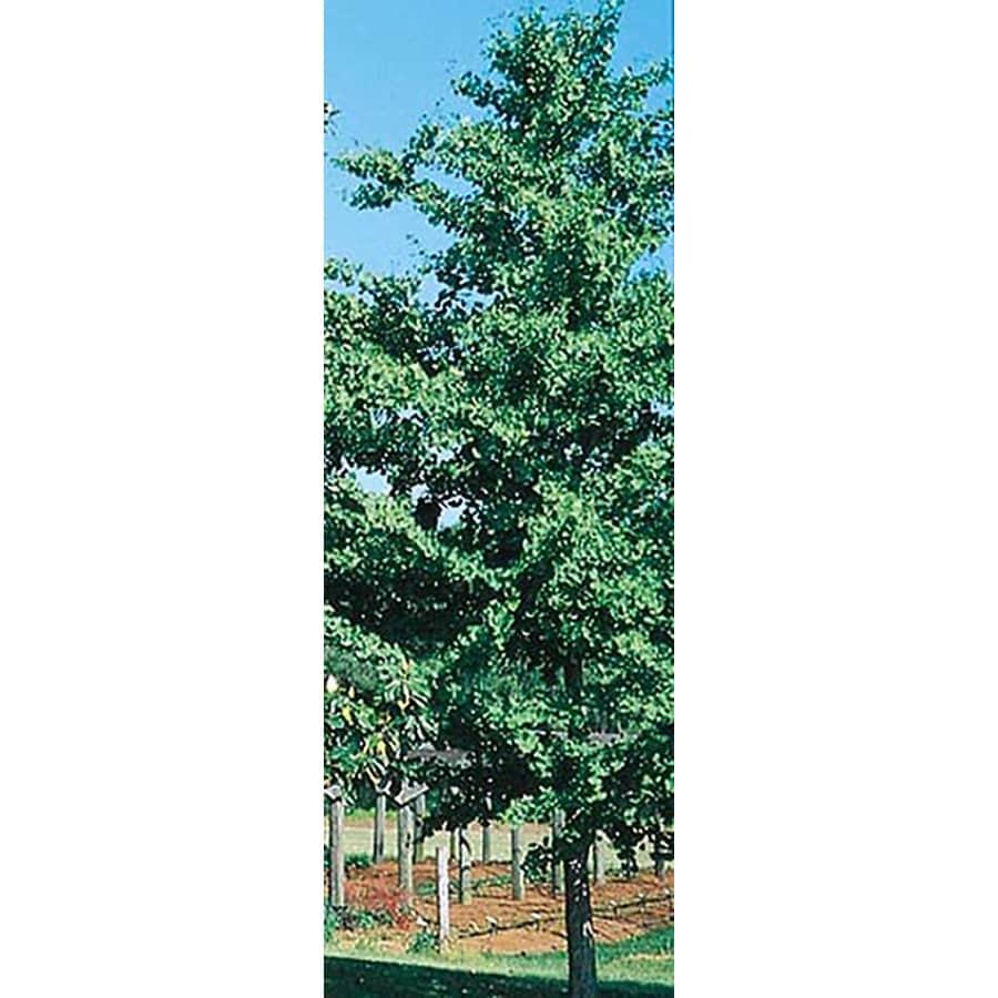 5.5-Gallon D. Blanchard Magnolia Flowering Tree (L1171)