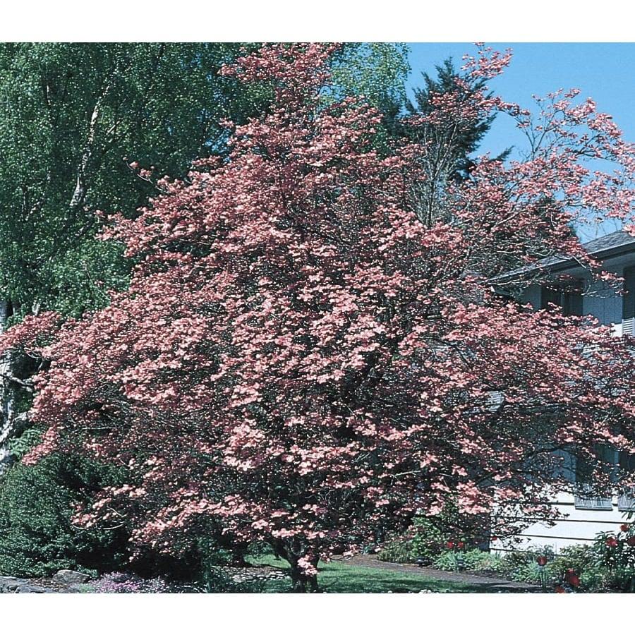 2.25-Gallon Gulf Coast Dogwood Flowering Tree (L1165)
