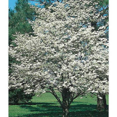 5 5 Gallon White Dogwood Flowering Tree In Pot With Soil L1053