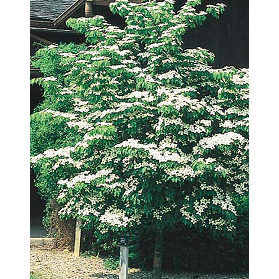 5.5-Gallon Kousa Dogwood Flowering Tree (L1140)