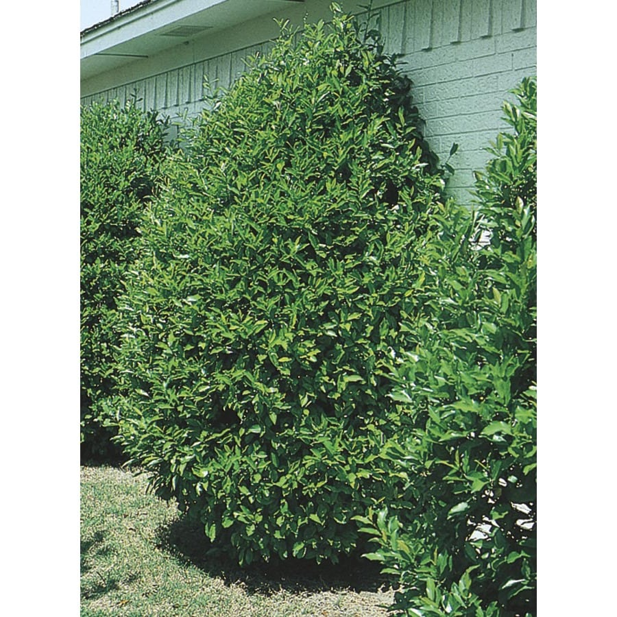 3.25-Gallon Carolina Cherry Laurel Screening Tree (L11188)
