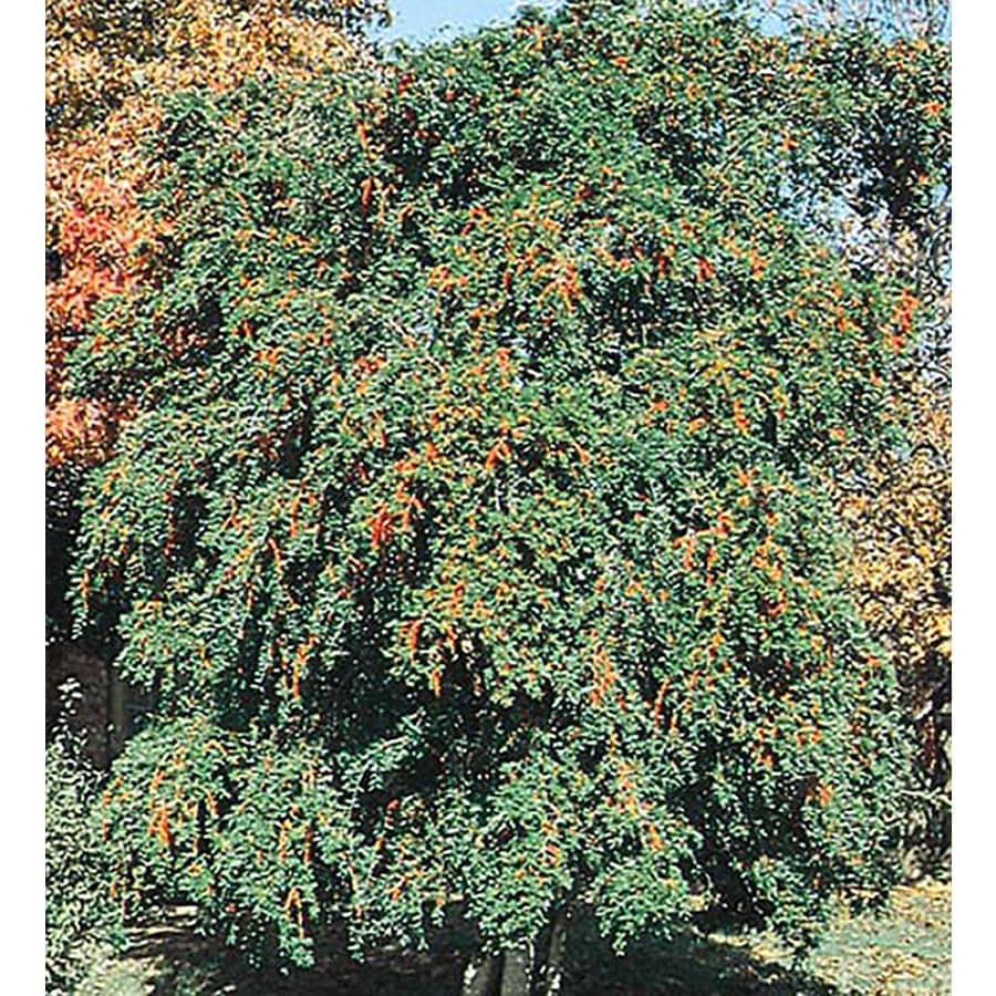 5.5-Gallon Weeping Yaupon Holly Feature Shrub (L3521)