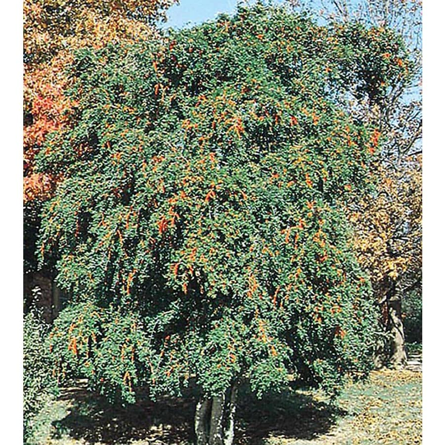 10.25-Gallon Weeping Yaupon Holly Feature Shrub (L3521)