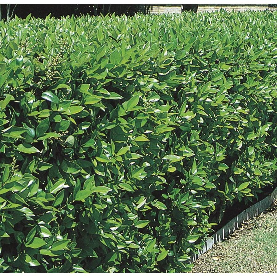 10.25-Gallon White Green Ligustrum Foundation/Hedge Shrub (L7467)