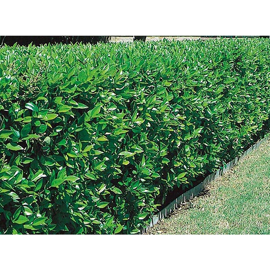 27.5-Gallon White Green Ligustrum Foundation/Hedge Shrub (L7467)
