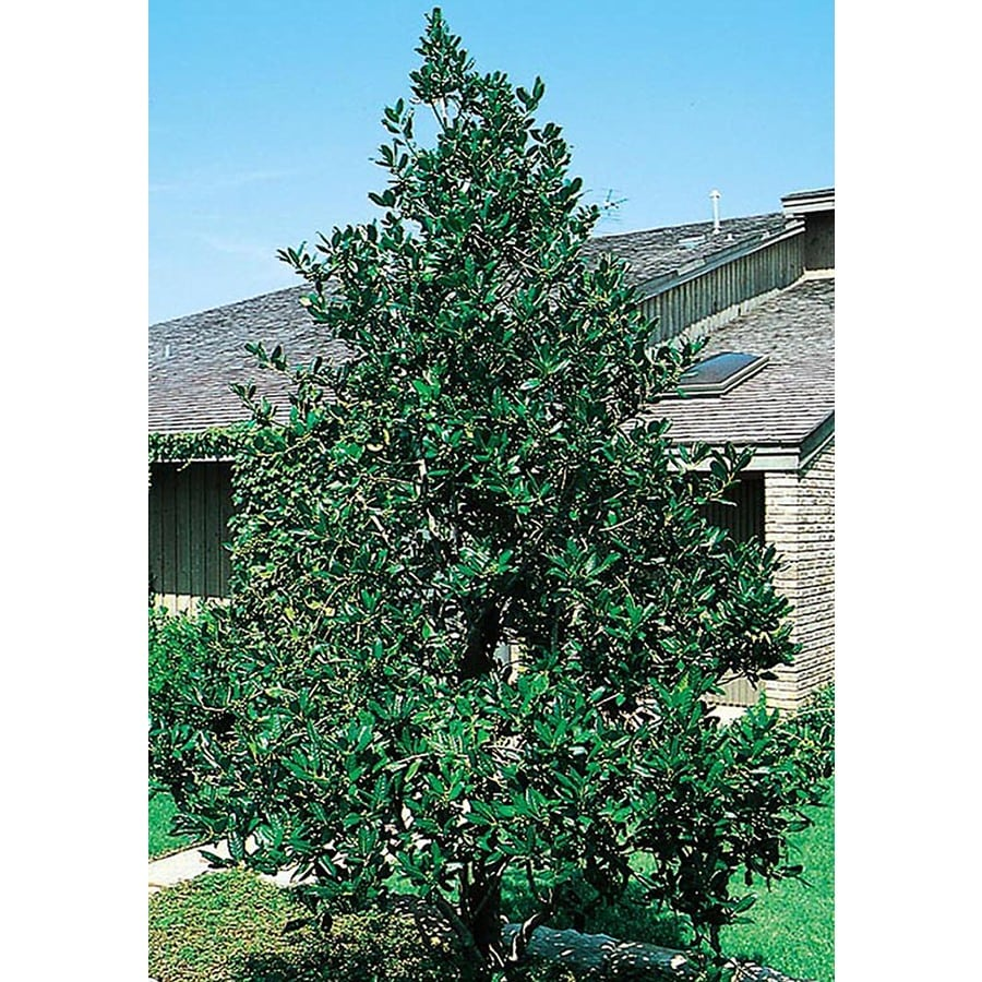 10.25-Gallon Nellie R. Stevens Holly Feature Shrub (L3524)