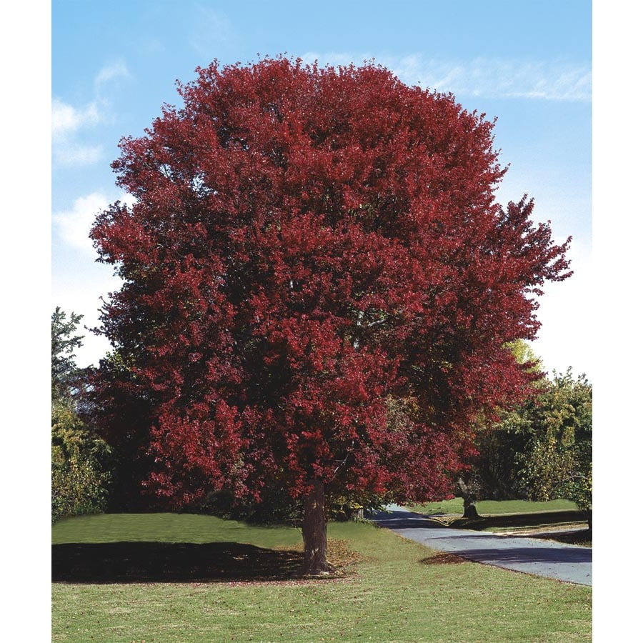 5.5-Gallon Burgundy Belle Maple Shade Tree (L2079)