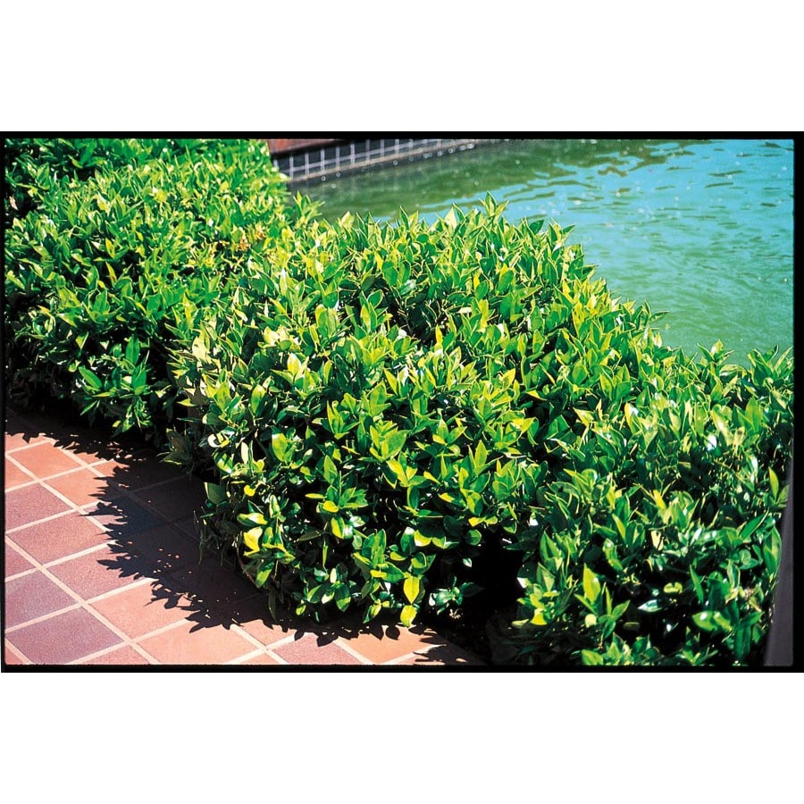 3.25-Gallon Carissa Holly Foundation/Hedge Shrub (L4374)